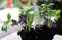 Basilic de jeune plante Photos stock