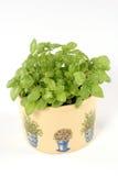 Basilic frais Image libre de droits