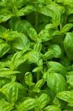 Basilic organique photos stock