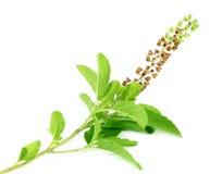 Basilic ou lames et fleurs saint médicinal de tulsi images libres de droits