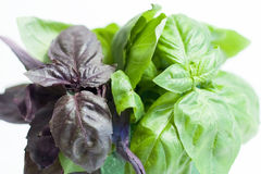 Basilic rouge et vert Image stock