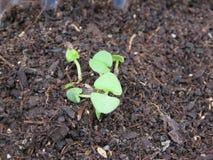 Basilic växt Arkivbild