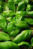 Basilic vert Photographie stock libre de droits