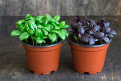 Basilic vert, basilic rouge, persil Photographie stock