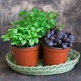 Basilic vert, basilic rouge, persil Photo libre de droits