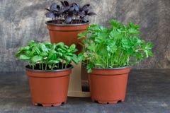 Basilic vert, basilic rouge, persil Image stock