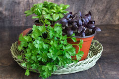 Basilic vert, basilic rouge, persil Photographie stock libre de droits