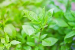 Basilic vert de feuille pour le fond de légume ou d'herbe photos libres de droits