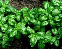 Basilic vert poussé dans le jardin photo stock