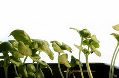 Basilico (basilicum del Ocimum) Fotografia Stock Libera da Diritti