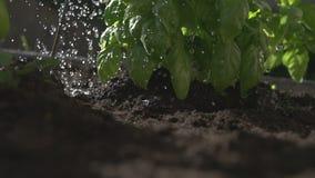 Basilico d'innaffiatura in un giardino, movimento lento, livello del suolo archivi video