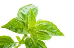 Basilico fresco, alimento sano Fotografia Stock