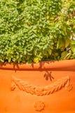 Basilico greco in vaso di terracotta Fotografie Stock