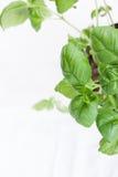 Basilico italiano verde fresco su un fondo bianco Fotografie Stock Libere da Diritti