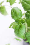 Basilico italiano verde fresco su un fondo bianco Fotografia Stock