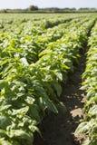 Basilico: prodotto tipico della Liguria Fotografia Stock