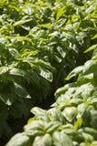 Basilico: prodotto tipico della Liguria Immagini Stock