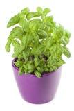 Basilico in vaso da fiori immagini stock libere da for Basilico in vaso