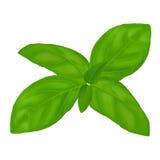 Basilico verde Fotografia Stock Libera da Diritti