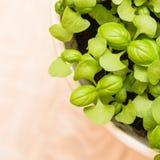 Basilico verde Immagine Stock