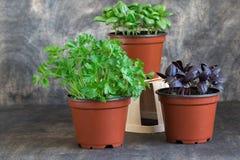 Basilico verde, basilico rosso, prezzemolo Fotografia Stock