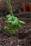Basilico verde nella serra Fotografia Stock