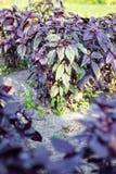 Basilico viola Fotografia Stock