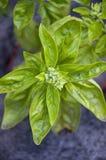 罗勒属basilicum 蓬蒿特写镜头 库存照片
