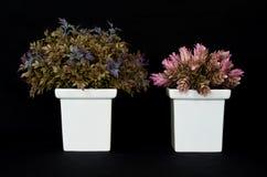 Basilicum en roze gember op zwarte isolatie backgroun Royalty-vrije Stock Afbeeldingen