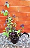 Basilicum het groeien op het balkon in vlakte royalty-vrije stock foto's