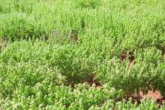 basilicumaanplanting Royalty-vrije Stock Afbeeldingen