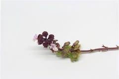 Basilicumbloemen Stock Foto