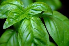 Basilicuminstallatie die bladeren tonen Royalty-vrije Stock Foto's
