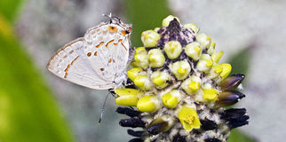 Basilides brasileños del Strymon de la mariposa vistos en el Ra atlántico Imagenes de archivo