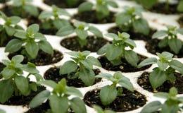 basilika planterar barn royaltyfria foton