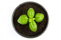 Basilikaväxt i en kruka Fotografering för Bildbyråer