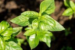Basilikaväxter på en organisk kommersiell lantgård Arkivbild
