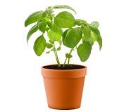 basilikaväxtkruka Arkivfoton