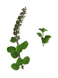 Basilikum-Blätter Lizenzfreie Stockbilder