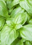 Basilikum-Blätter Stockfotografie