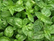 Basilikum-Blätter Stockfotos