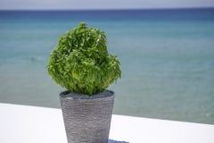 Basilikum in einem Topf vor unscharfem Strandhintergrund Lizenzfreies Stockfoto