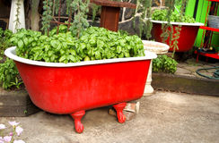 Basilikum in einer roten Badewanne Lizenzfreies Stockfoto