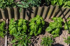 Basilikum - Gemüsegarten Lizenzfreies Stockfoto