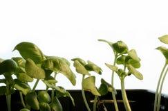 Basilikum (Ocimum basilicum) Lizenzfreie Stockfotografie
