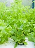 Basilikum und grüner Kopfsalat im Wasserkulturbauernhof lizenzfreie stockfotos