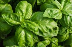 Basilikumanlage mit grünen Blättern Lizenzfreie Stockfotos