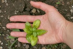 Basilikumanlage (Ocimum basilicum) Lizenzfreies Stockbild