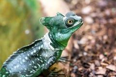 Basilisco com crista verde (plumifrons do Basiliscus) Imagem de Stock Royalty Free