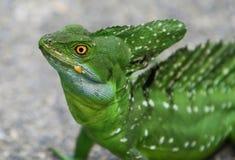 Basilisco doppio-crestato verde smeraldo Fotografia Stock Libera da Diritti